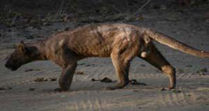 Eine Fossa, das einzig große Raubtier Madagaskars © A. Gutierrez
