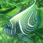 Pomacanthus_imperator, Imperatorkaiserfisch - Jungtier