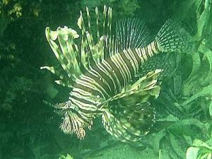 Pterois_volitans, Rotfeuerfisch