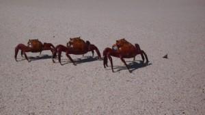 Galapagos-Krabben