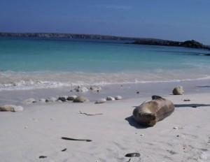 Galapagos-Seeloewe-Genovesa