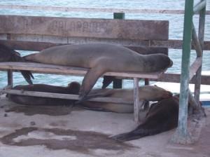 Galapagos-Seeloewen