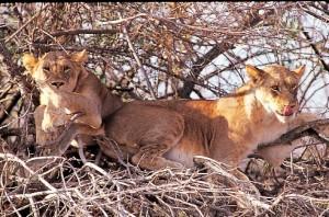 Löwen am Lake Manyara