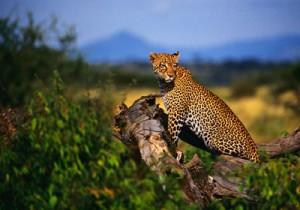 Gepard im Samburu Park