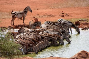 Great Migration Tansania
