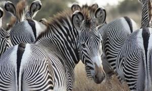 Zebras Etosha Nationalpark