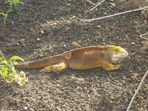 Landleguan Galapagos