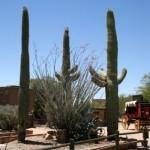 Old Tucson Studios Saguaros