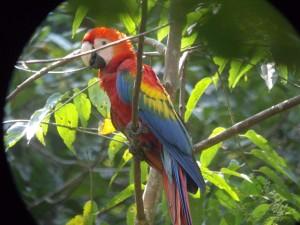 Pagageienfelsen Yasuni Nationalpark