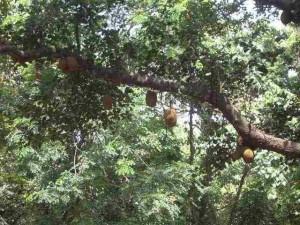 Jackfruchtbäume im Garten des Hill Palace in Thripunitura, Kerala