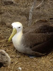 Galapagos Albatross Española