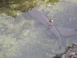 Weißspitzenhaie Las Tintoeras