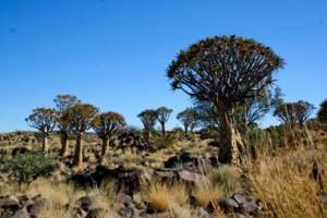 Köcherbaumwald Namibia Kalahari Wueste