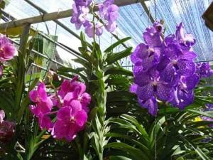 Orchideenfarm Chiang Mai Thailand
