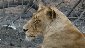 Löwin im Kruger Park