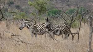 Zebras im Kruger Park