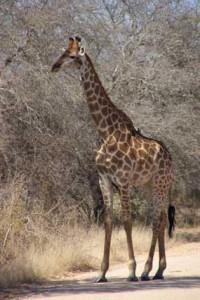 Giraffe Mietwagenreise