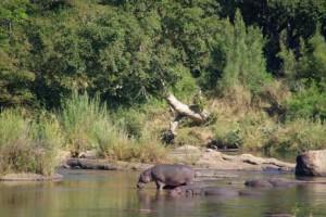 sabi fluss hippos