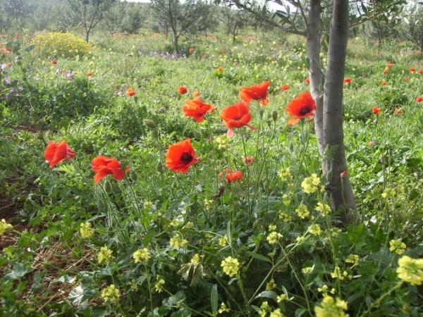Blumenwiese bei Sidi Khelifa/Hammamet