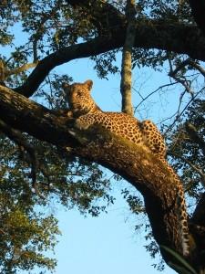 Leopard bei Pirschfahrt