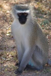 Meerkatze Monkeyland