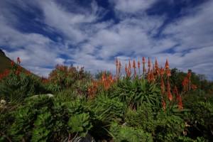 Tsitsikamma Nationalpark Protea