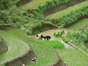 Reisfelder Mekong Delta