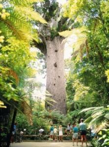 Waipona Kauri Baum