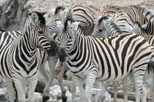 Singleurlaub Zebra