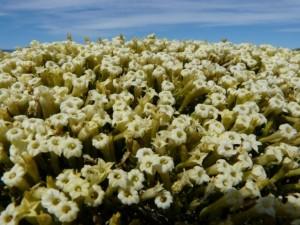 Blütenpracht in Patagonien