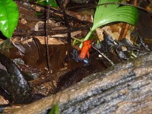 Pfeilgiftfrosch Tortuguero Nationalpark