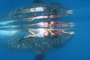 Walhaie auf Tuchfühlung
