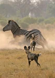Wildhunde Botswana