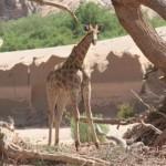 Namibia Reise - Wüsten Giraffe