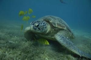 Apo Reef Schildkröte