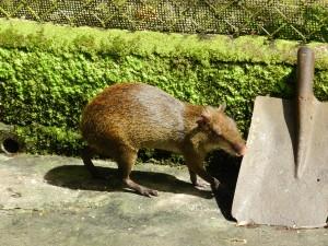 Ein Cappibara im Zoo vom Anton Tal