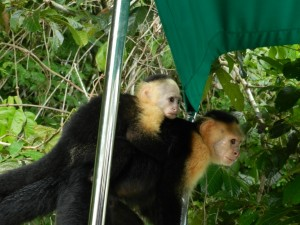 Panama Reise - Affeninsel