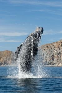 Buckelwal beim Breaching