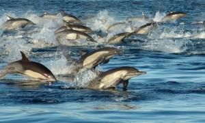 Langschnauzige Gewöhnliche Delfine