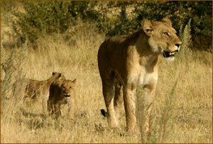 Löwen im Moremi Reservat in Botswana