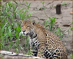 Jaguar im Regenwald bei Reisen in Südamerika