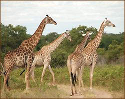 Giraffenherde auf unseren Rundreisen im Chobe Nationalpark