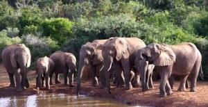 Elefantenreicher Addo Elephant Nationalpark