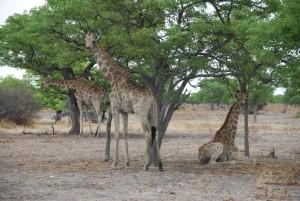Giraffen Etosha Nationalpark