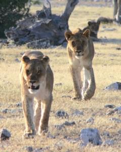 Löwengespann auf Pirsch