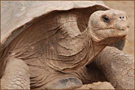 Schildkröte an der Tortuga Bay
