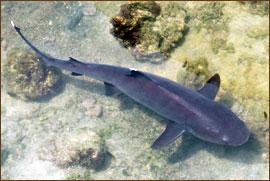 weisspitzenriffhai auf Isabella