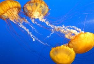 Quallen im Vancouver Aquarium