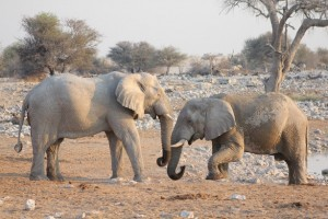 Elefanten im Etosha Nationalpark