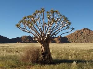 Köcherbäume Namibia